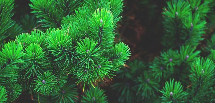 Bring One for the Chipper –  Christmas Tree Recycling